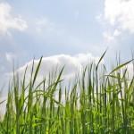 Fazy krzewienia zbóż