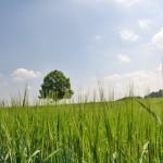 Opryskiwanie zbóż preparatami chwastobójczymi